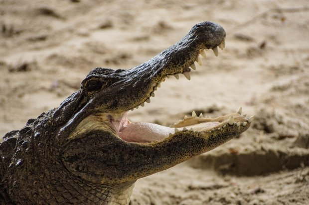 avoid alligators in commercial lease